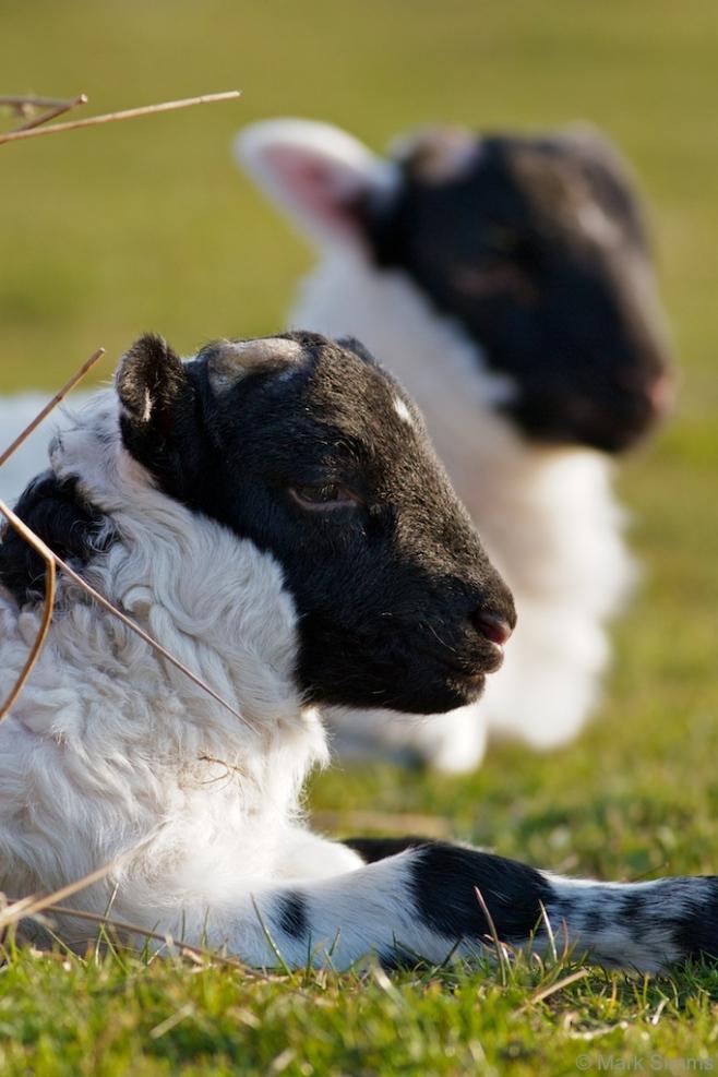 Lamby-kins