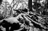 Snow Roots