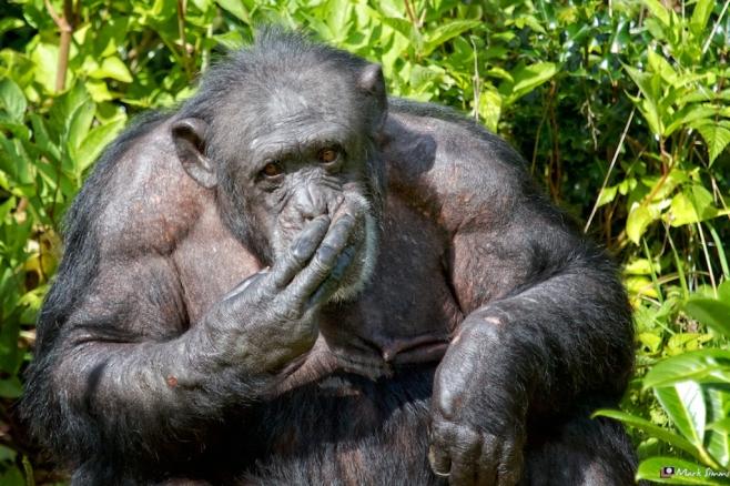 Chimpanzee 3