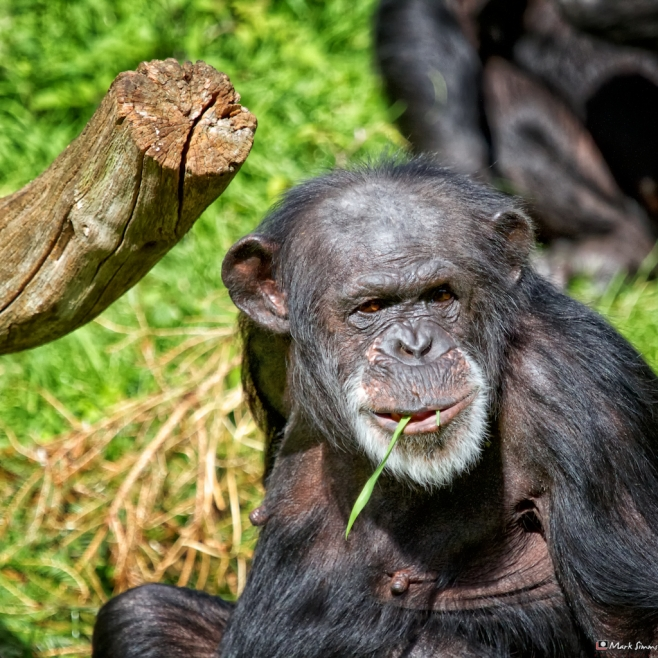 Chimpanzee 4