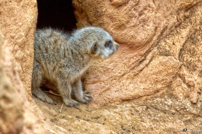 Meerkats 2