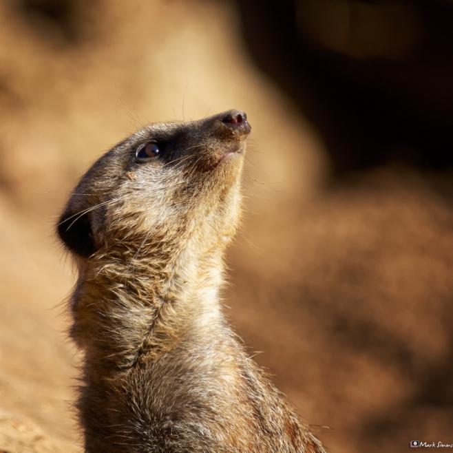 Meerkats 4