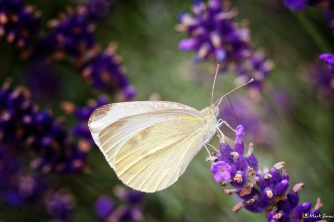 Small White Butterfly 1