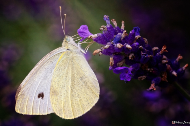 Small White Butterfly 2
