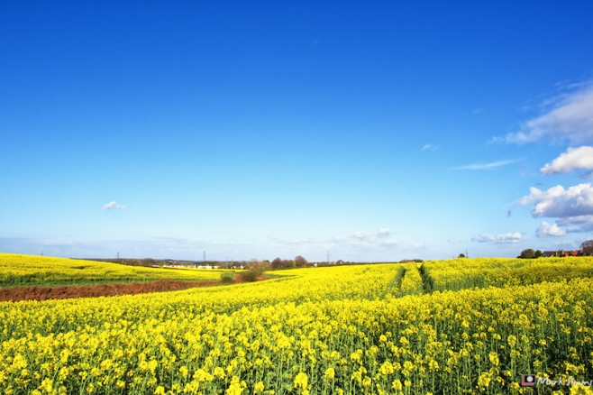 Yellow Field, Blue Sky 2