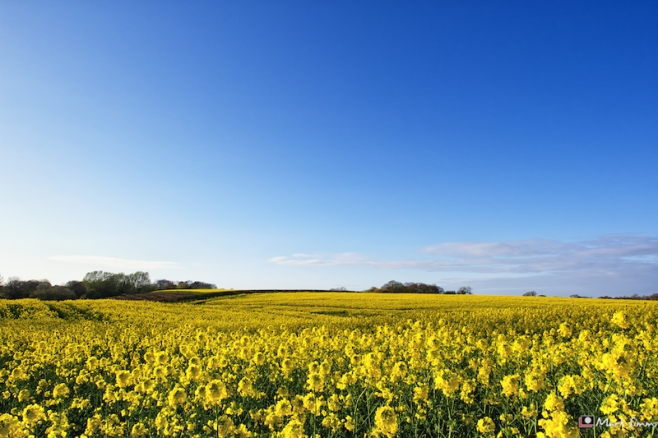 Yellow Field, Blue Sky 3