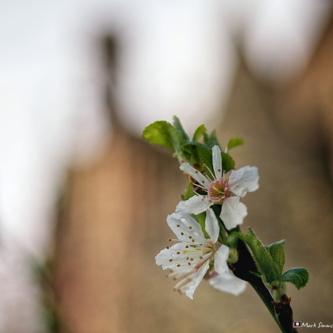 Cathedral Blossom 2