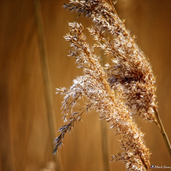Golden Grasses 2