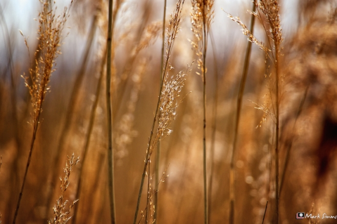 Golden Grasses 3