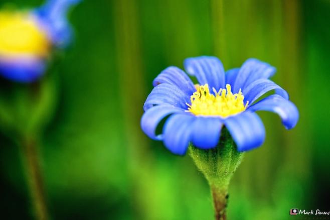 Blue, Daisy, Home, Wirral, Merseyside, England
