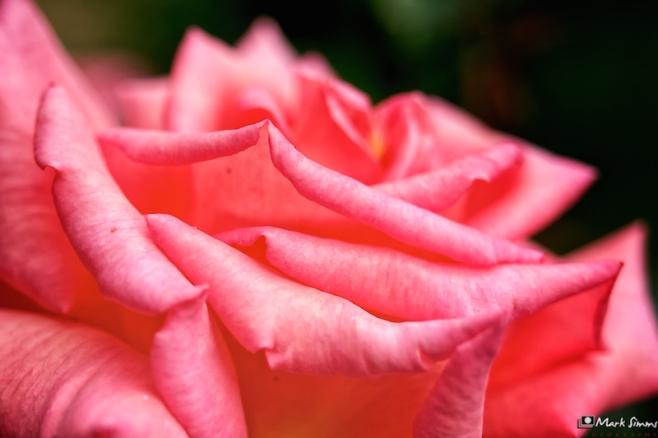 Rose, Shakespeare, Elizabethan, Harvington Hall, Kidderminster, Worcestershire, England