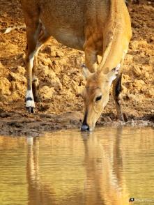Antelope, Ranthambhore, Rajasthan, India