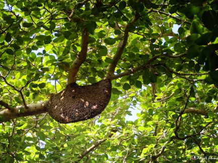 Bee Hive, Ranthambhore, Rajasthan, India