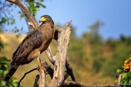 Crested Serpent Eagle, Ranthambhore, Rajasthan, India