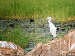 Egret, Ranthambhore, Rajasthan, India