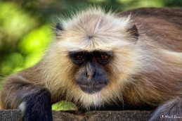 Languor Monkey 1, Ranthambhore, Rajasthan, India