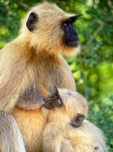 Languor Monkey 2, Ranthambhore, Rajasthan, India