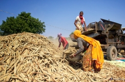 Village Life, Harvest, Ramathra, Rajasthan, India