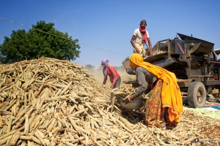 Village Life, Harvest, Ramathra, Rajasthan, India