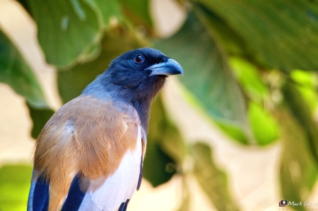 Rufus Treepie, Ranthambhore, Rajasthan, India