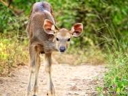 Samba Deer 1, Ranthambhore, Rajasthan, India