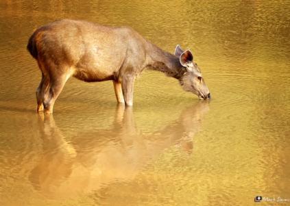 Samba Deer 2, Ranthambhore, Rajasthan, India