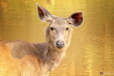 Samba Deer 3, Ranthambhore, Rajasthan, India