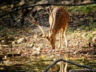 Spotted Deer 1, Ranthambhore, Rajasthan, India