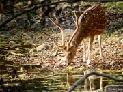 Spotted Deer 2, Ranthambhore, Rajasthan, India