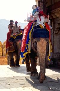 Amber Fort Elephants, Jaipur, Rajasthan, India