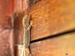 Gecko, Lizard, Ramathra, Rajasthan, India