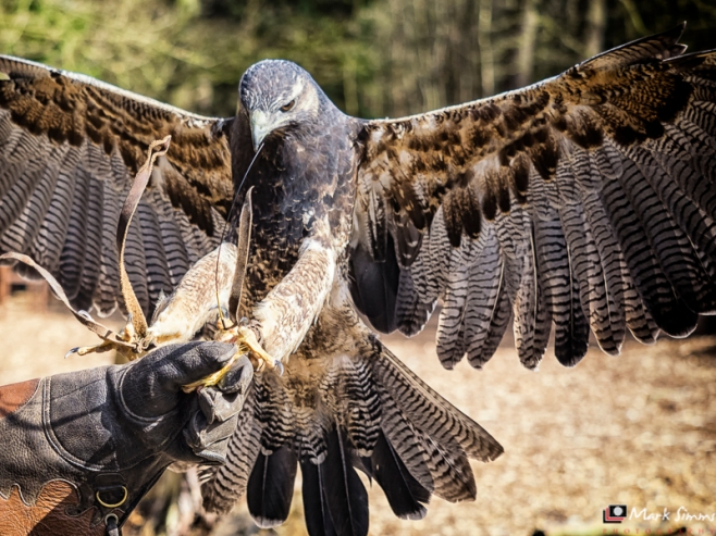 Birds of Prey, Peckforton Castle, Cheshire, England