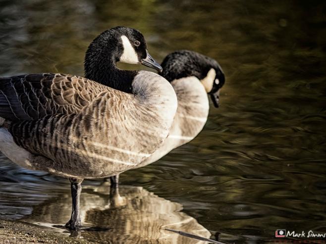 Canada Goose, Birkenhead Park, Wirral, England