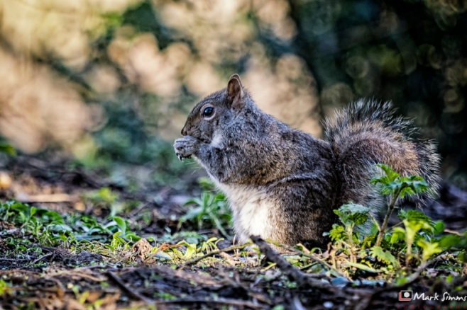 Grey Squirrel, Birkenhead Park, Wirral, England