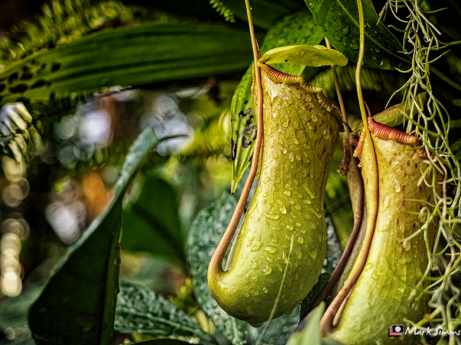 Nepenthes, Sefton Park, Liverpool, England, UK