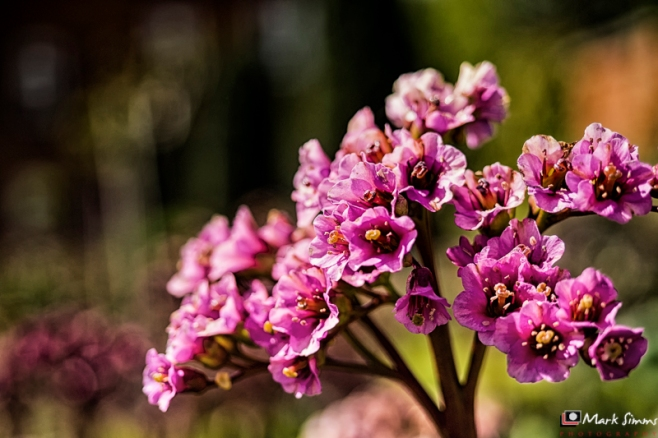Pink Flower, Frodsham, Cheshire, England