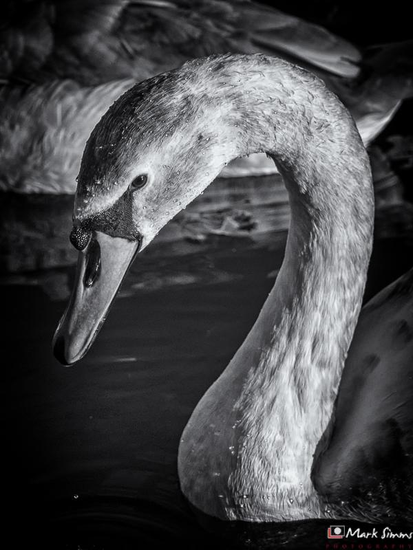 Swan, Sefton Park, Liverpool, Merseyside, England