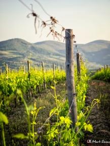 Vineyards, Castello di Volpaia, Volpaia, Radda in Chianti, Tuscany, Italy