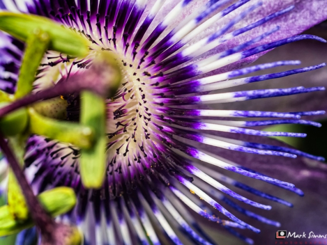 Passion Flower, Arley Hall, Cheshire, England