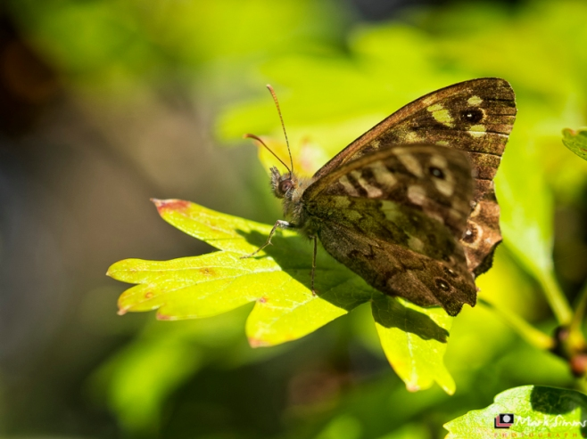 Speckled Wood Butterfly, New Ferry Butterfly Park, Wirral, England