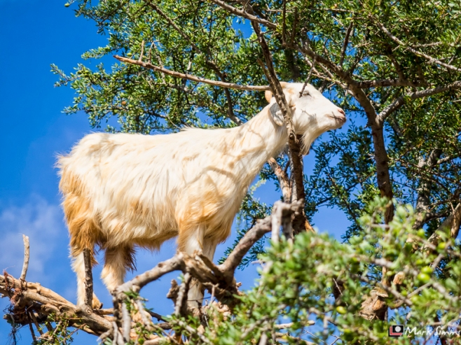 Goats in Trees, Road to Essaouira, Morocco, North Africa