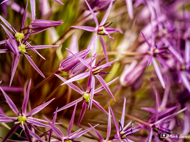 Allium, Home, Wirral, Merseyside, England