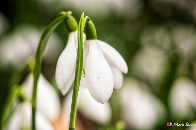 Snowdrop, Rufford Old Hall, Ormskirk, Lancashire, England