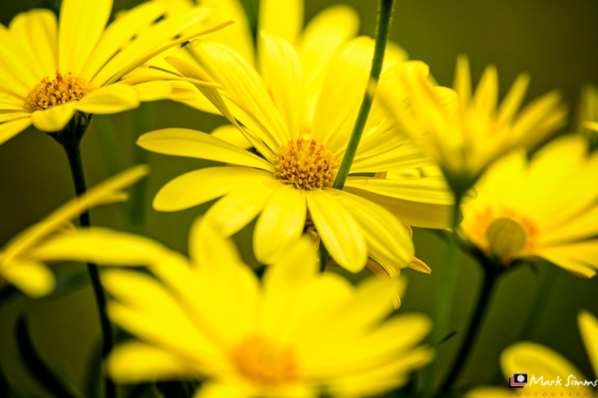 Yellow Daisies, Home, Wirral, Merseyside, England
