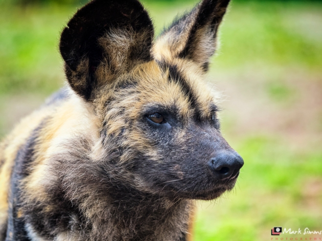 African Painted Dog, Chester Zoo, Cheshire, England