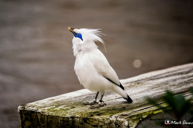 Bali Starling, Chester Zoo, Cheshire, England