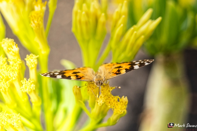 Butterfly, Playa Blanca, Lanzarote, Canary Islands, Spain