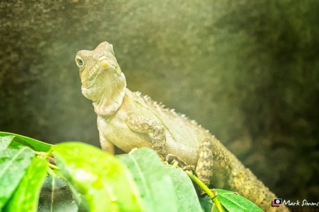Forest Dragon, Chester Zoo, Cheshire, England