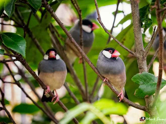 Java Sparrows, Chester Zoo, Cheshire, England