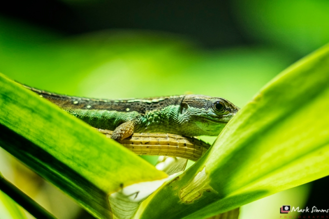 Long Tailed Lizard, Chester Zoo, Cheshire, England